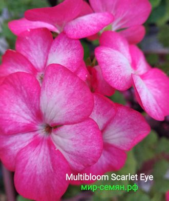 Пеларгония зональная Multibloom Scarlet Eye, 3 шт