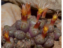 Conophytum decoratum (MG-1415.6) - 5 семян