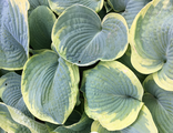 Хоста Франсе Уильямс (Hosta Frances Williams)