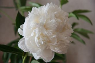 Paeonia Double White