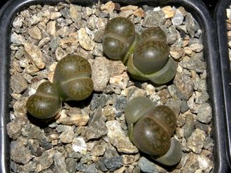 Lithops lesliei v.minor 'Witblom' C006A