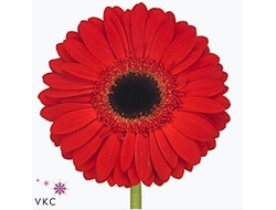 Gerbera diamond blinddate