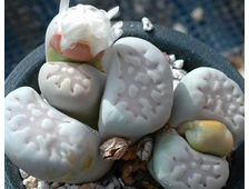 Lithops julii ssp.fulleri C062 (MG-1621.06) - 5 семян
