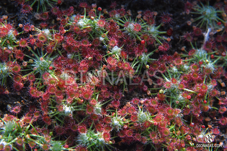 "Drosera ""Occidentalis"""