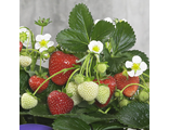 Земляника Fragaria Delizz white