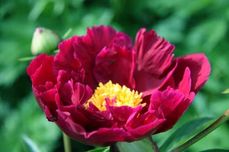 Paeonia President Lincoln