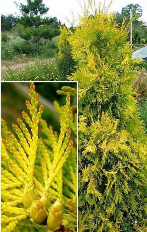 Жимолость съедобная выращивание и уход 35