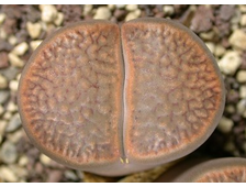Lithops hookeri v.marginata (red-brown form) C089 (MG-1616.52) - 5 семян