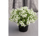 Алиссум ALYSSUM CLEAR CRYSTAL® WHITE