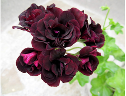 Фото пеларгонии  Royal Black Rose