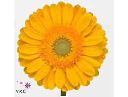 Gerbera diamond captiva