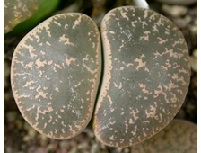 Lithops lesliei (Pietersburg form) C030 (MG-1650) - 5 семян