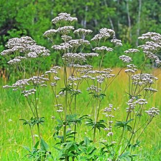 Валериана (Valeriana officinalis)  - 100% натуральное эфирное масло