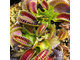 Dionaea muscipula Jaws smiley