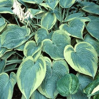 Хоста Алватин Тейлор (Hosta Alvatine Taylor)