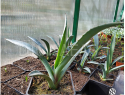 Agave tequilana (Агава текильная)