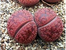 Lithops aucampiae `Firebrandt` (MG-1550.51) - 3 семени