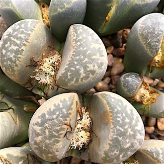 Lithops naureeniae Goraap Farm (MG-1671.7) - 5 семян