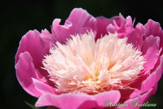 Paeonia EMBRACEABLE PINK