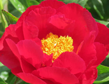 Пион Маккинак гранд (Paeonia Mackinac Grand)
