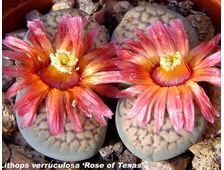 Lithops verruculosa Rose of Texas (MG-1757.2) - 5 семян