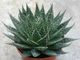 Aloe aristata (Алое остистое)