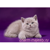 photo available British shorthair kitten lilac color cattery charm majesty