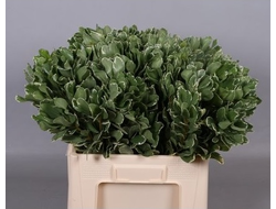 Leaf pittosporum ilan