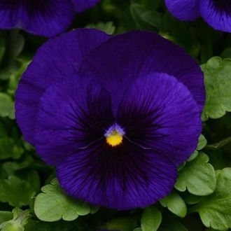 Виола VIOLA, F1 LARGE-FLOWERED SPRING MATRIX BLUE BLOTCH