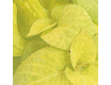 Колеус COLEUS WIZARD®GOLDEN