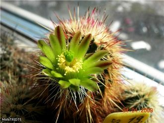 Echinocereus chloranthus SB245 (MG-189) - 5 семян