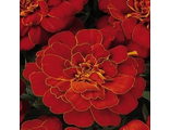 Тагетес TAGETES, FRENCH DWARF ANEMONE DURANGO® RED