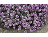 Алиссум ALYSSUM CLEAR CRYSTAL® LAVENDER SHADES