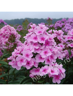 Флокс Брайт Айс  (Phlox paniculata Bright Eyes)
