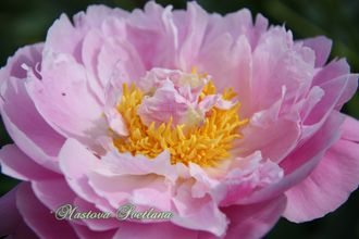 Paeonia Queen bee