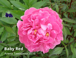 Пион Бэби Рэд (Paeonia Baby Red)