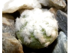 Aztekium hintonii PP 222 (d=5-6mm)