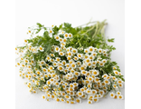 Танацетум TANACETUM, CUT FLOWER VEGMO SINGLE