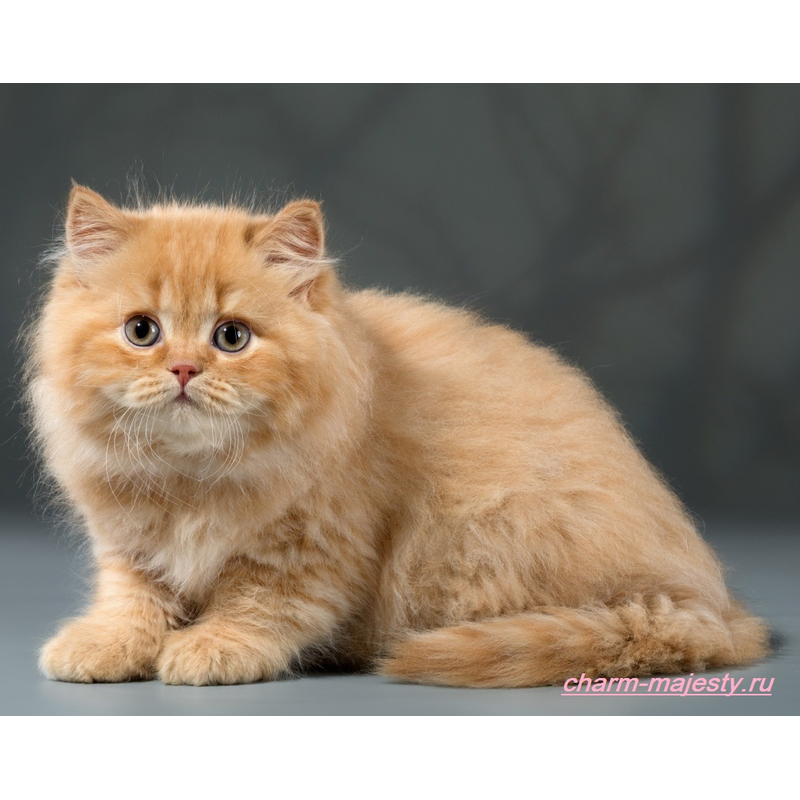 photo available British longhair kitten red cattery charm majesty