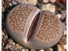 Lithops hallii C090 (MG-1600) - 5 семян