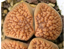 Lithops hookeri (vermiculate form) C051 (MG-1616.05)  - 5 семян