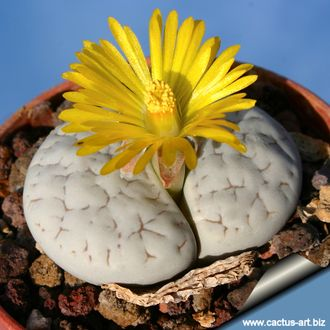 Lithops gracilidelineata C262 - 5 семян