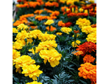 Тагетес TAGETES, FRENCH DWARF CRESTED BONANZA MIX