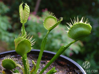 "Dionaea muscipula ""Cross teeth""#2"