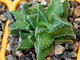 Faucaria tuberculosa Normandale (MG-1504.8) D=45 mm