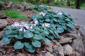 Хоста Hosta hybride Blue Mouse Ears