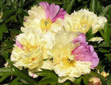 Пион Лемон Дрим (Paeonia Lemon Dream)