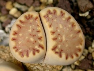 Lithops julii ssp fulleri C121 (MG-1621.08) - 5 семян