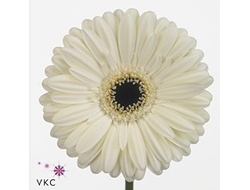 Gerbera diamond ice berg