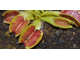 Dionaea muscipula Cropped tooth